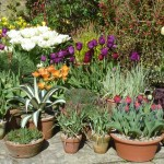 tulips-in-pots