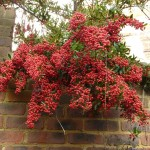 bright red berries on pyracanthus