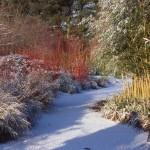 cornus-aside-garden-path