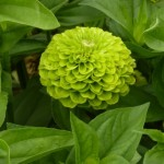 lime green zinnia