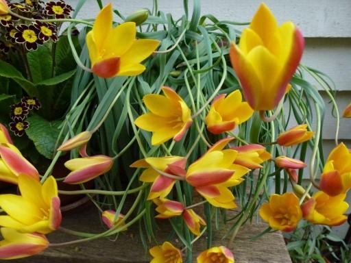 tulips in flower