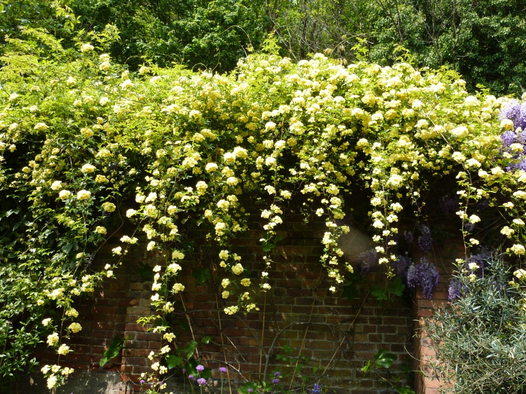 Image gallery flowering climbers for Plants for outdoor garden