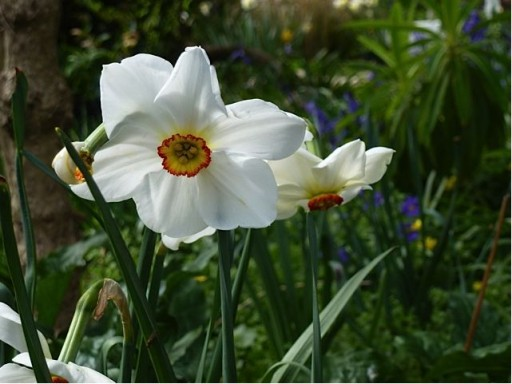 Pheasant's Eye narcissus in full flower