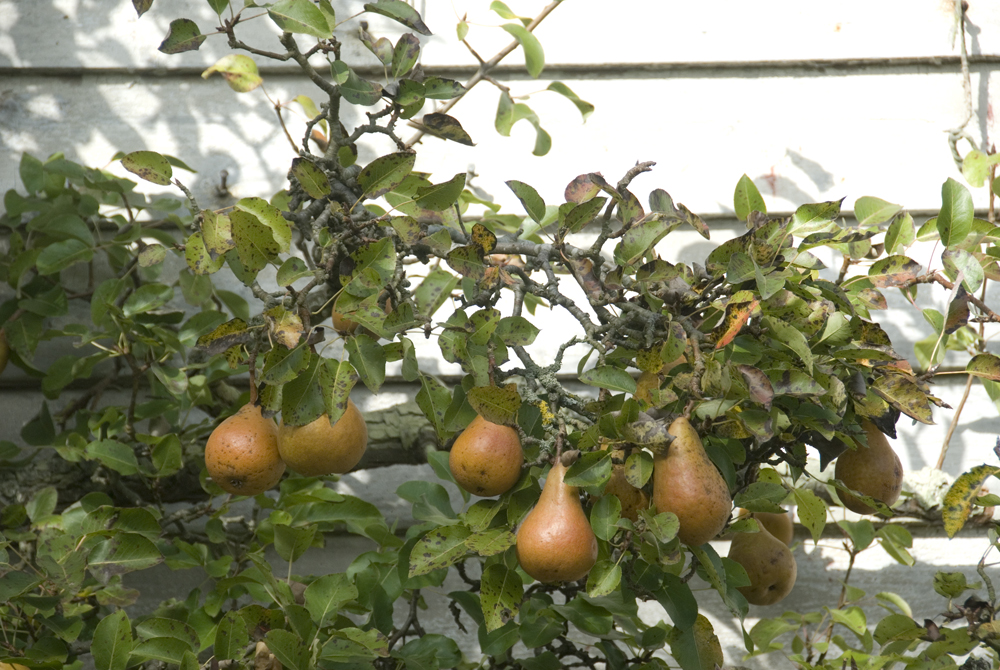pears in fruit on a tree