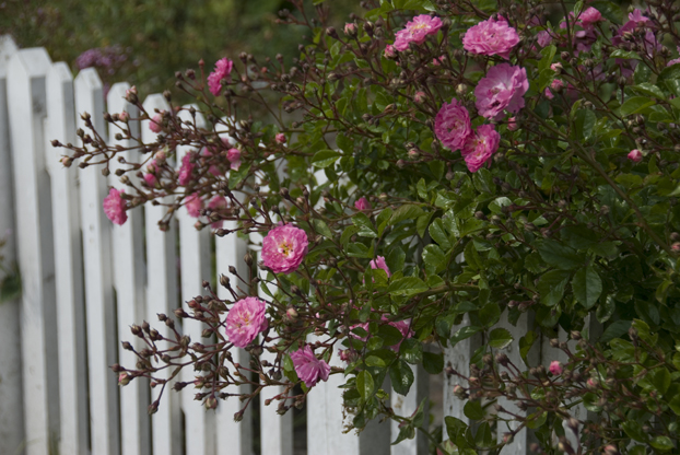 cottage garden picket fence