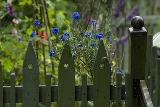 picket fence with cornflower