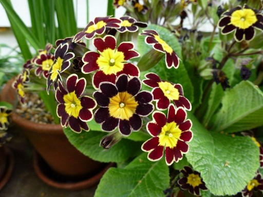 goldlace primula in flower