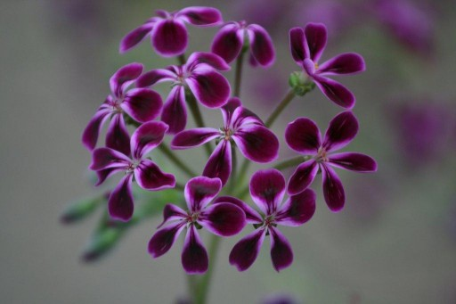 purple Pelargonium lawrenceanum