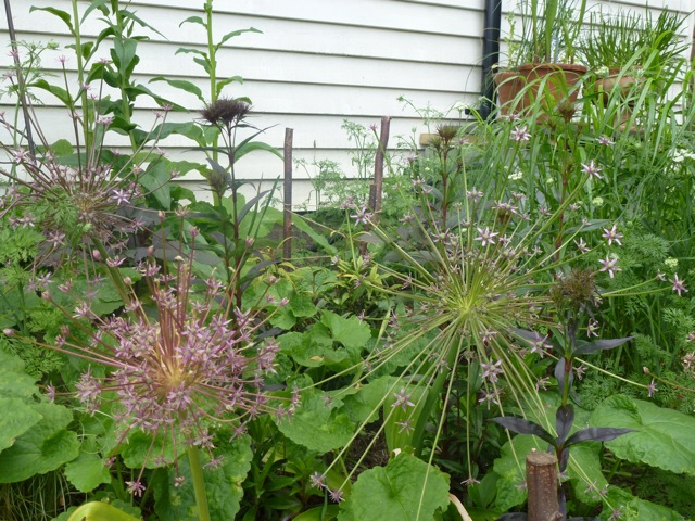 allium schubertii in garden border