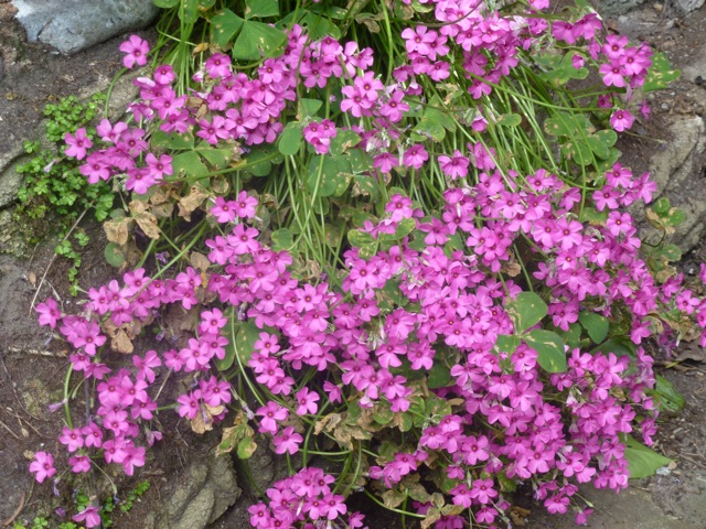 oxalis in full bloom, an impressive weed