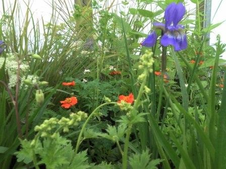 Geum borissi and Iris sibirica