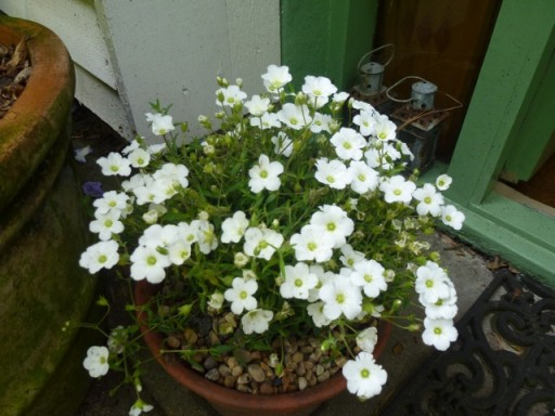 Arenaria montana growing in a pot in my garden