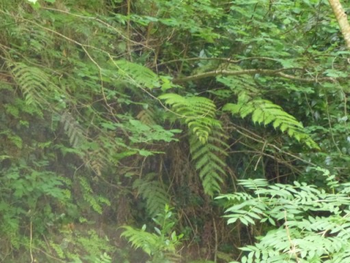 This fern spreads by rooting from the tips of its fronds