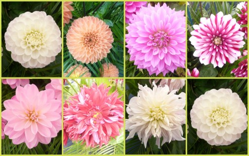 spectacular dahlias at the tatton park show