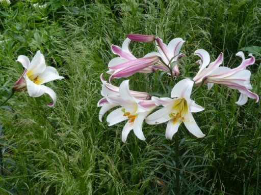 fragrant lily in the Jo Malone Garden