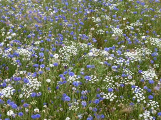 cornflowers in meadow planting at olympic park