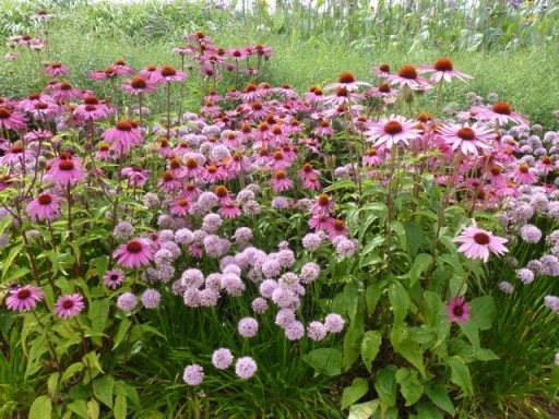 echinacea purpurea at olympic park