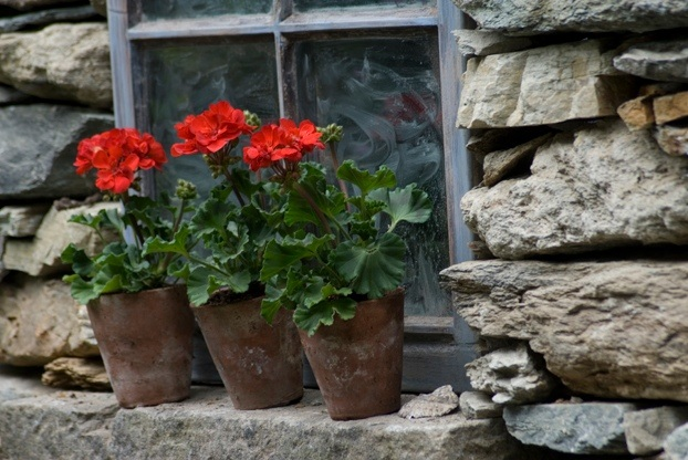 small geraniums potted up on a window sill