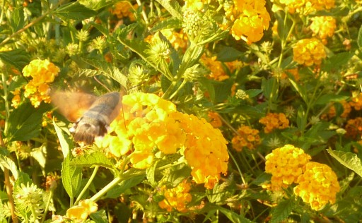 hawk moth gathers nectar from lantana