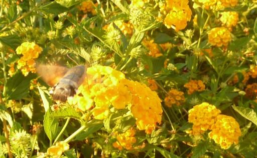hawk moth gathers nectar from lantana