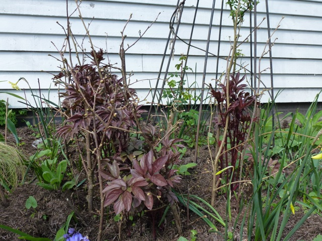 plant supported by hazel and a wigwam