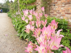 pink tulips in flower in garden border