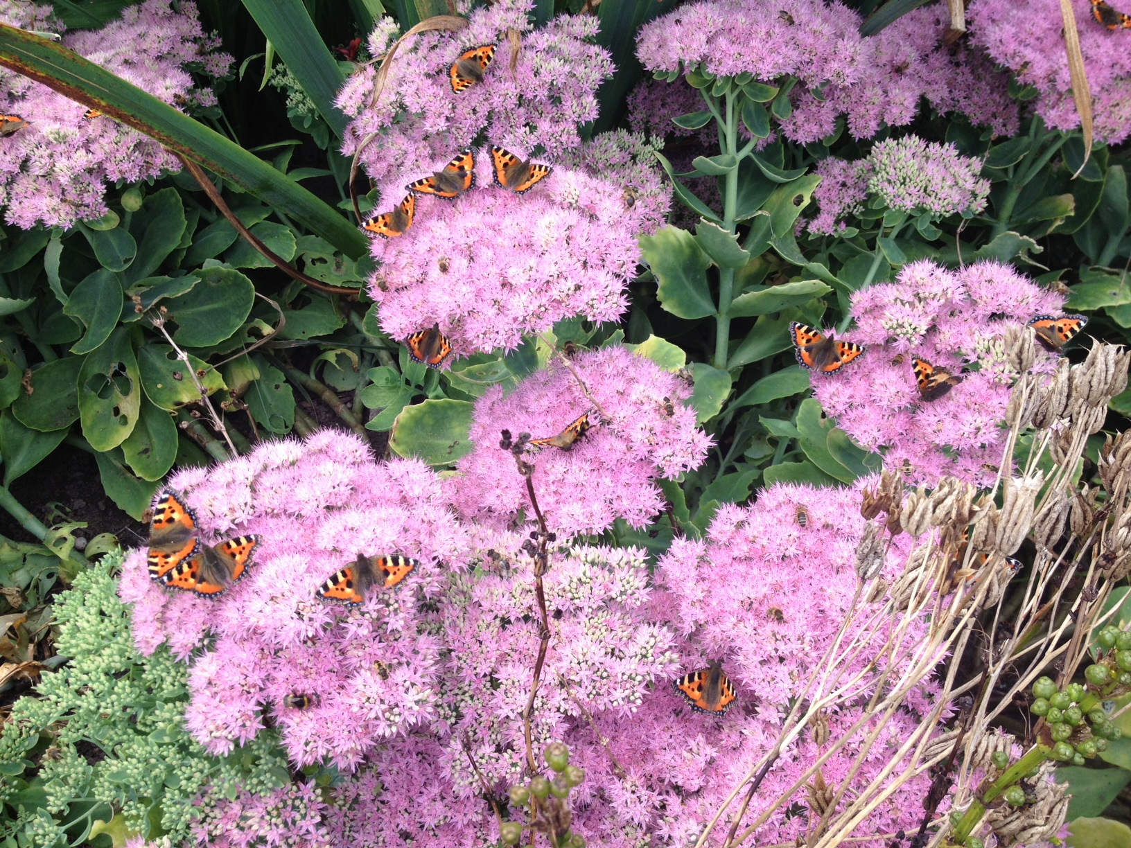 butterflies resting on sedum spectabile
