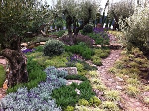 pathway meanders through olive grove