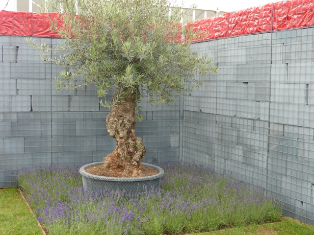 olive tree in breeze block garden