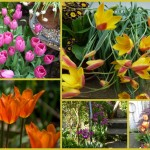 Top 5 Favourite Tulips