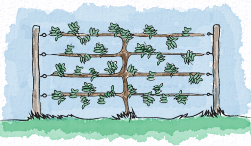 Training a pear tree espalier