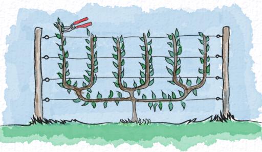 Triple U Cordon trained against a fence