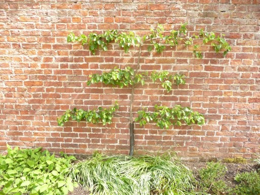 Young Espalier