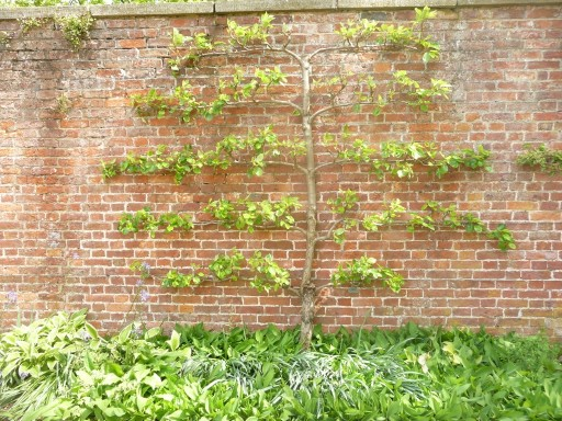 Espalier being trained
