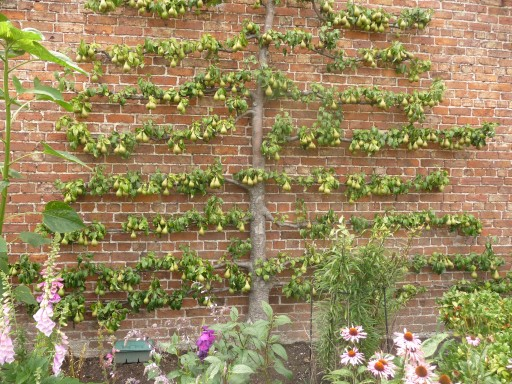 Pear Espalier in fruit
