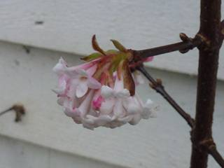 the Viburnum bodnantense is in full flower