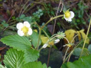 alpine strawberries in flower