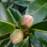 camellias soon to flower