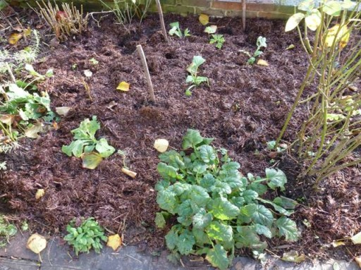 plants cut back for overwintering and mulched
