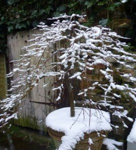 potted acer with now on branches