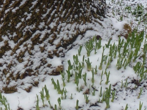 green shoots appear through the snow