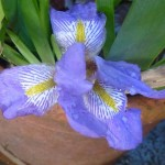 iris flower in bloom