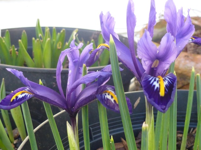 side view of newly bloomed iris