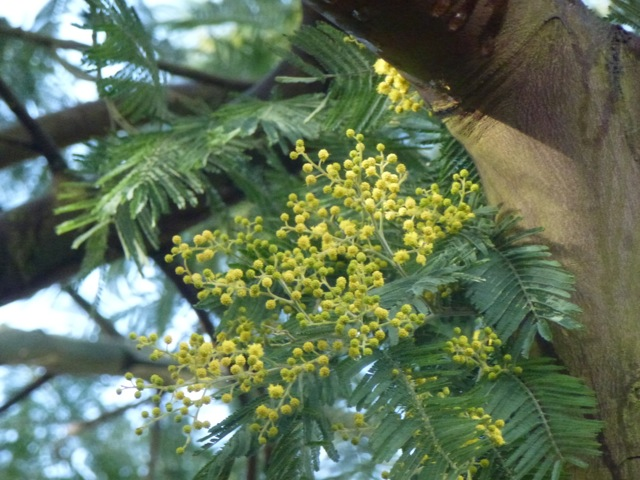 yellow pompoms of mimosa coming into flower