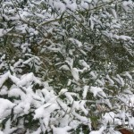 snow rest heavy on the olive leaves