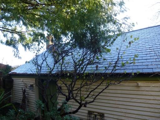 precious quince tree