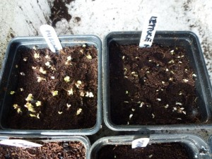 salad seeds germinate in greenhouse