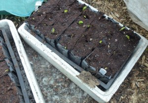 broad beans germinate in warm bag if bark