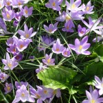 crocus tommasinianus in bloom on the lawn