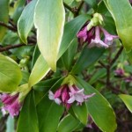 daphne flowers open and releasing scent